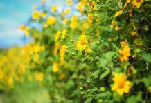 du lịch mùa hoa dã quỳ